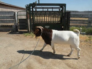 a goats for sale 111