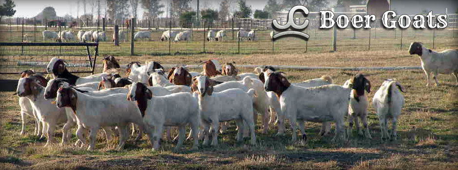 boer-goats-for-sale